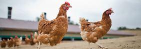 Vom Exoten zum Eierlieferanten: Wie kamen die Hühner zu uns?