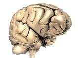 Ein menschliches Gehirn.