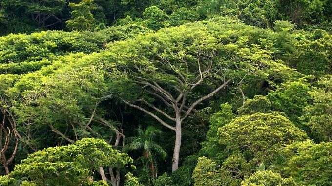 """Der neue Forschungsturm """"Atto"""" wird weit über die Baumkronen des Regenwalds reichen. Er soll Klima-Daten sammeln."""