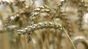 Gute Nachricht des Tages: Gencode des Weizens geknackt