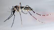 Tiere mit Bakterien infiziert: Mücken helfen bei Malaria-Bekämpfung