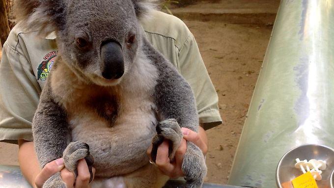 An sechzig wild lebenden Koalas wurde die Impfung bereits getestet.