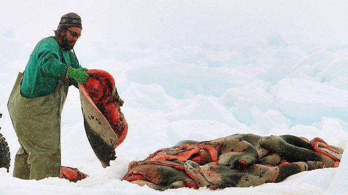 Norwegen und Kanada sind die einzigen Länder, die die Robbenjagd noch kommerziell betreiben.