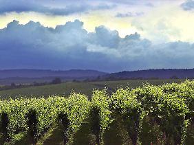 Weinanbau bei Oestrich-Winkel: Septembernächte können auch im Rheingau empfindlich kühl werden (Archivbild).
