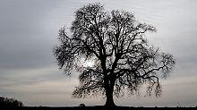 Frage und Antwort, Nr. 363: Sterben Bäume an Altersschwäche?