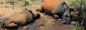 Wilderei-Höchststand in Südafrika: Hunderte Nashörner in einem Jahr getötet