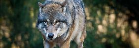 Erstmals seit über 170 Jahren wurden in Nordrhein-Westfalen Spuren eines Wolfes nachgewiesen.