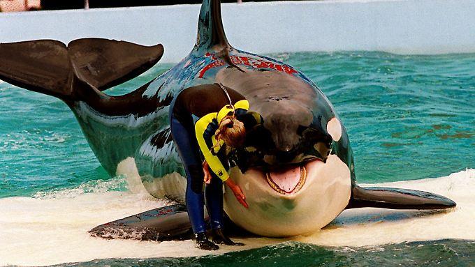 Schwertwal Lolita lebt seit fast 45 Jahren im Seaquarium und schwimmt noch immer täglich bei den Vorstellungen.