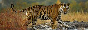 Wildhüter töten Raubkatze: Indischer Tiger frisst zwei Menschen