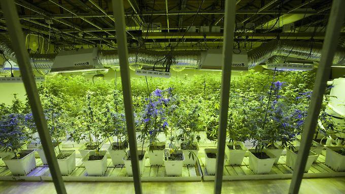 Der legale Cannabis-Anbau in den USA ist ein Milliardengeschäft.