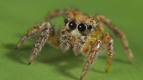 Eine Spinne der Gruppe Habronattus, zum Sprung bereit.