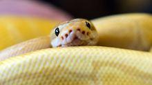 Jäger mit winzigen Hinterbeinen: Schlangen entstanden doch an Land