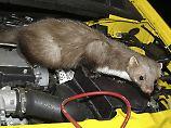 Tipps des TÜV: So halten Sie Marder vom Auto fern