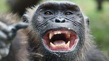 Dominanzverhalten oder Ritual?: Schimpansen schleudern Steine auf Bäume