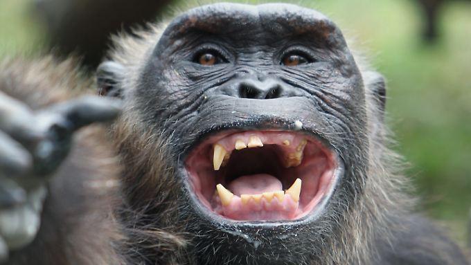 Schimpansen bauen erst Steinhaufen und schmeißen die Geröllbrocken dann auf Bäume.