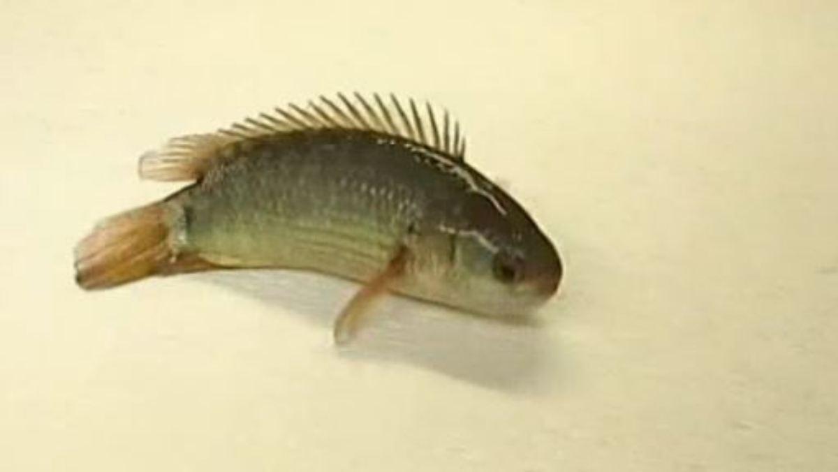 landstreicher mit flossen  der kletterfisch bewegt sich zu