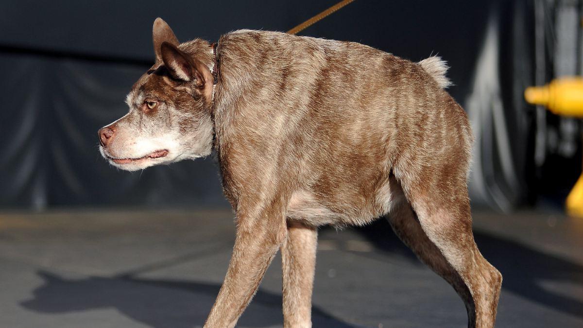 Tasmanischer Hund
