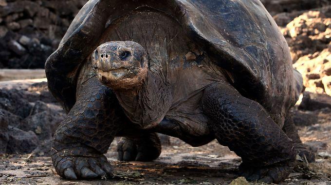 Die Wissenschaftler wollen den Einfluss der Schildkröten auf das Ökosystem der Galapagos-Inseln untersuchen.