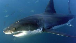 So viele Attacken wie lange nicht: Hitzewelle treibt Haie an die US-Ostküste