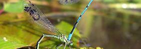 Sex bis zum Lebensende: Das Liebesleben der Libellen