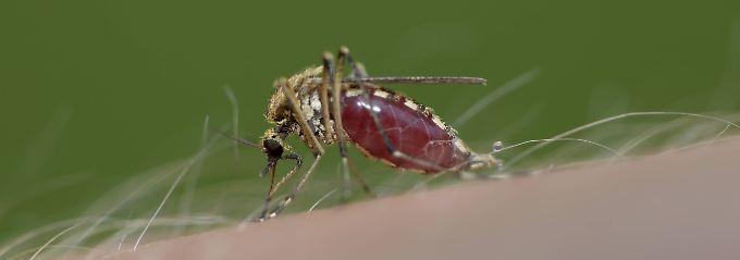 Eine Mücke bei ihrer Blutmahlzeit.