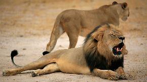 Tod von Löwe Cecil: Simbabwe schränkt Großwildjagd ein