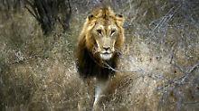 """Nach Aufregung um """"Cecil """": Auch Deutsche jagen geschützte Wildtiere"""