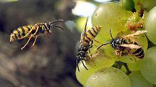 Ein Hauen und Stechen: Die Wespen sind los
