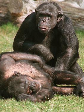Schimpansen tauschen Zärtlichkeiten aus. Von ihrem Verhalten können Menschen lernen, meint ein holländischer Experte.