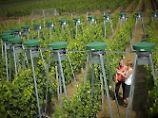 Einfluss der Treibhausgase: Wein schmeckt in Zukunft anders