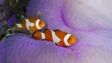 Das bedeutet: alle Clownfische sind zuerst männliche Tiere. Diese leben in einer Anemone mit anderen Männchen aber nur einem Weibchen.