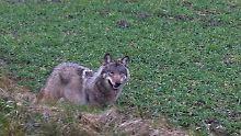 """""""Es gibt keinen Anlass zur Panik"""": Am Wolf scheiden sich die Geister"""