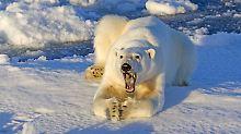 Tausende Arten bedroht: Erwärmung macht Eisbär schwer zu schaffen