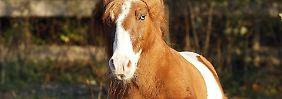 Im Pferdestall: Tierschänder missbraucht Shetland-Pony