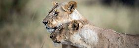 """""""König der Tiere"""" ist gefährdet: Löwen in Afrika vom Aussterben bedroht"""