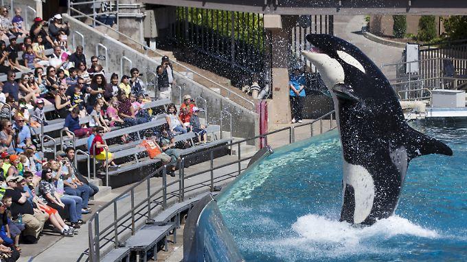 Tierschützer kritisieren die Orca-Show von SeaWorld als Quälerei.