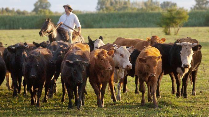 Rinderherde in Argentinien: Seit 1958 ist der Rindfleischkonsum pro Kopf in Argentinien von 98,4 auf 59,8 Kilogramm im Jahr geschrumpft.