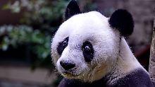 Mehr Sex, mehr Nachkommen: Pandas bevorzugen selbst gewählte Partner
