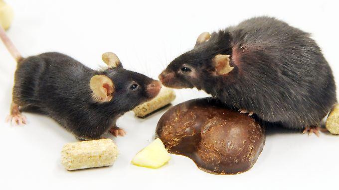 Normalgewichtige und adipöse Maus.