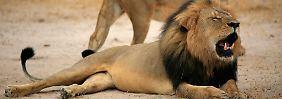 Kampf gegen Großwildjäger: USA sehen Löwen als bedrohte Art an