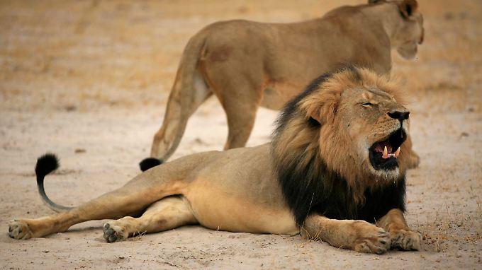 Cecil (v.) war einer der bekanntesten Löwen Simbabwes.