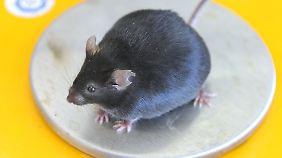 Das Essverhalten des Vaters kann die Gesundheit des Kindes beeinflussen, zeigen Studien an Mäusen.
