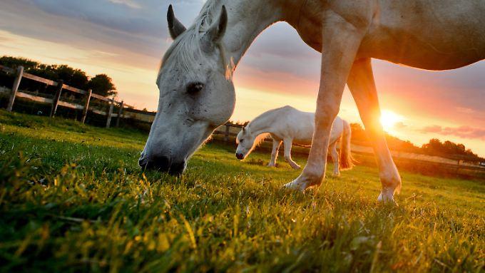 In Kirgistan wird zu Weihnachten traditionell gern Pferdefleischwurst gegessen.