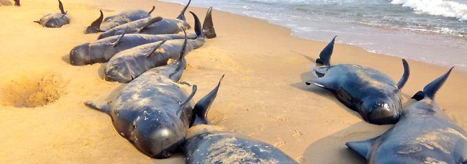 Die Tiere werden an Stränden auf einer Küstenlänge von 25 Kilometern gefunden.