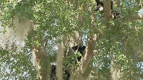 Kaum zu glauben, aber wahr: Bärenfamilie nistet sich in Baum ein - mitten im Wohngebiet