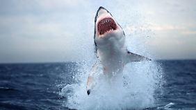 Kein possierliches Tierchen: So ein ausgewachsener Hai kann bis zu sechs Meter groß werden.
