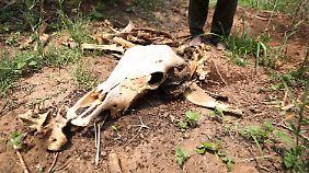 In Simbabwe stirbt den Farmern wegen Wassermangels das Vieh weg.
