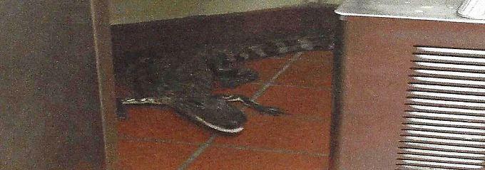"""Der Alligator oder: die """"tödliche Waffe"""" in der Restaurantküche."""