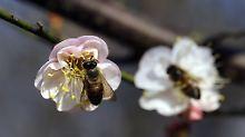 Frage & Antwort, Nr. 419: Wie finden Bienen die Blüten?