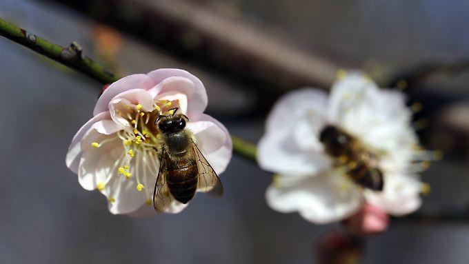Honigbienen bei ihrer Arbeit - auf Blüten eines Pflaumenbaums.